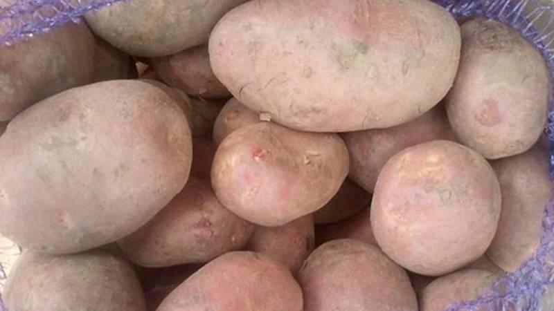 Картофель ильинский описание сорта характеристика отзывы об урожайности фото
