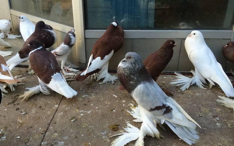 Породы голубей: декоративные, летные, спортивные, мясные
