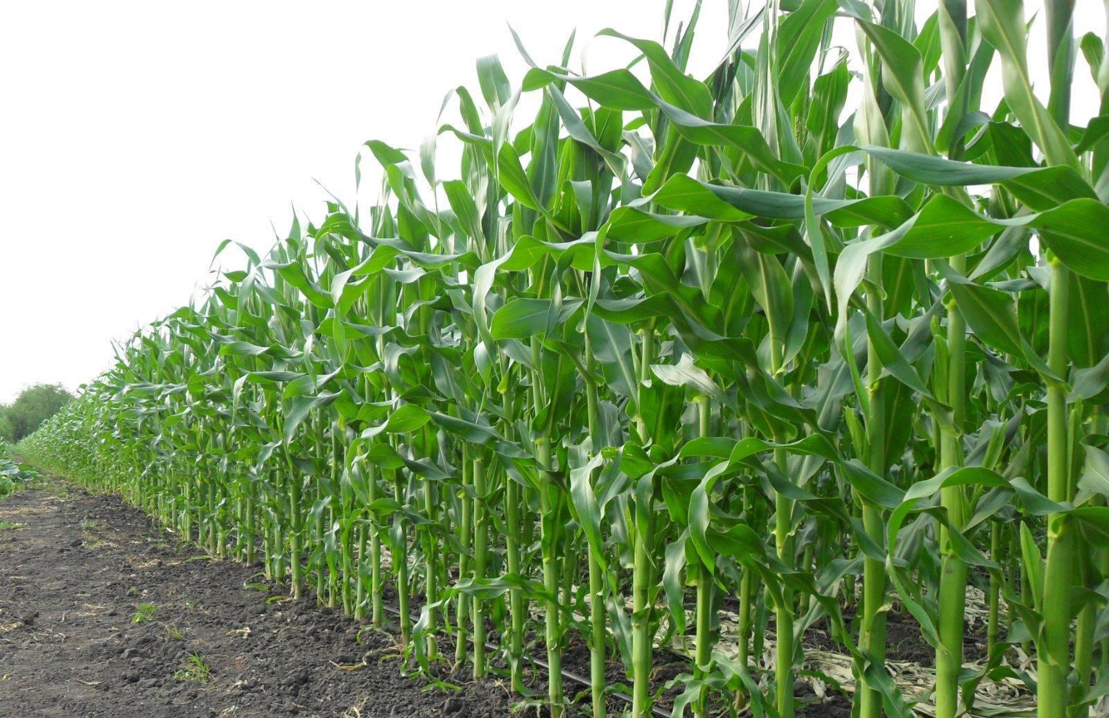 Как правильно сажать кукурузу и ухаживать за ней после посадки?