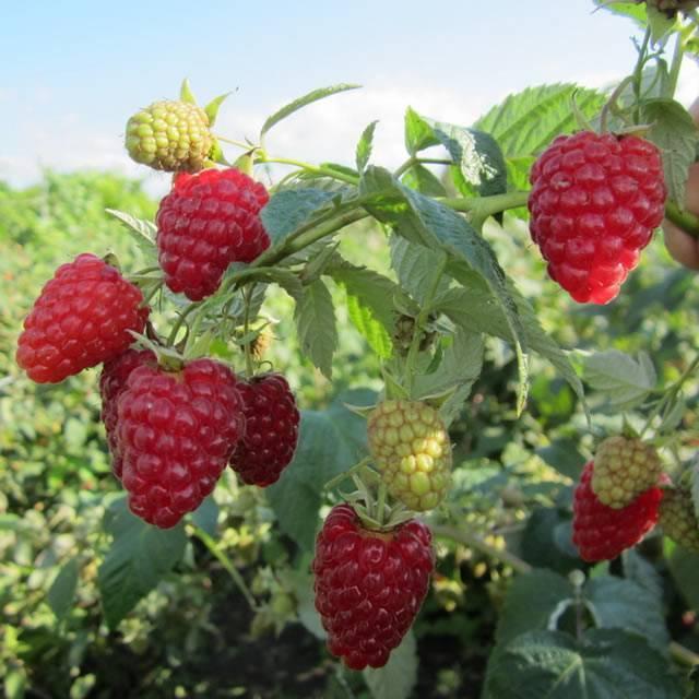 Описание сорта малины геракл, посадка, выращивание и уход