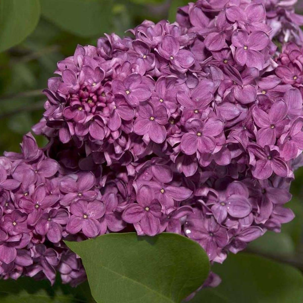 Сирень: посадка и уход в саду, обрезка и размножение