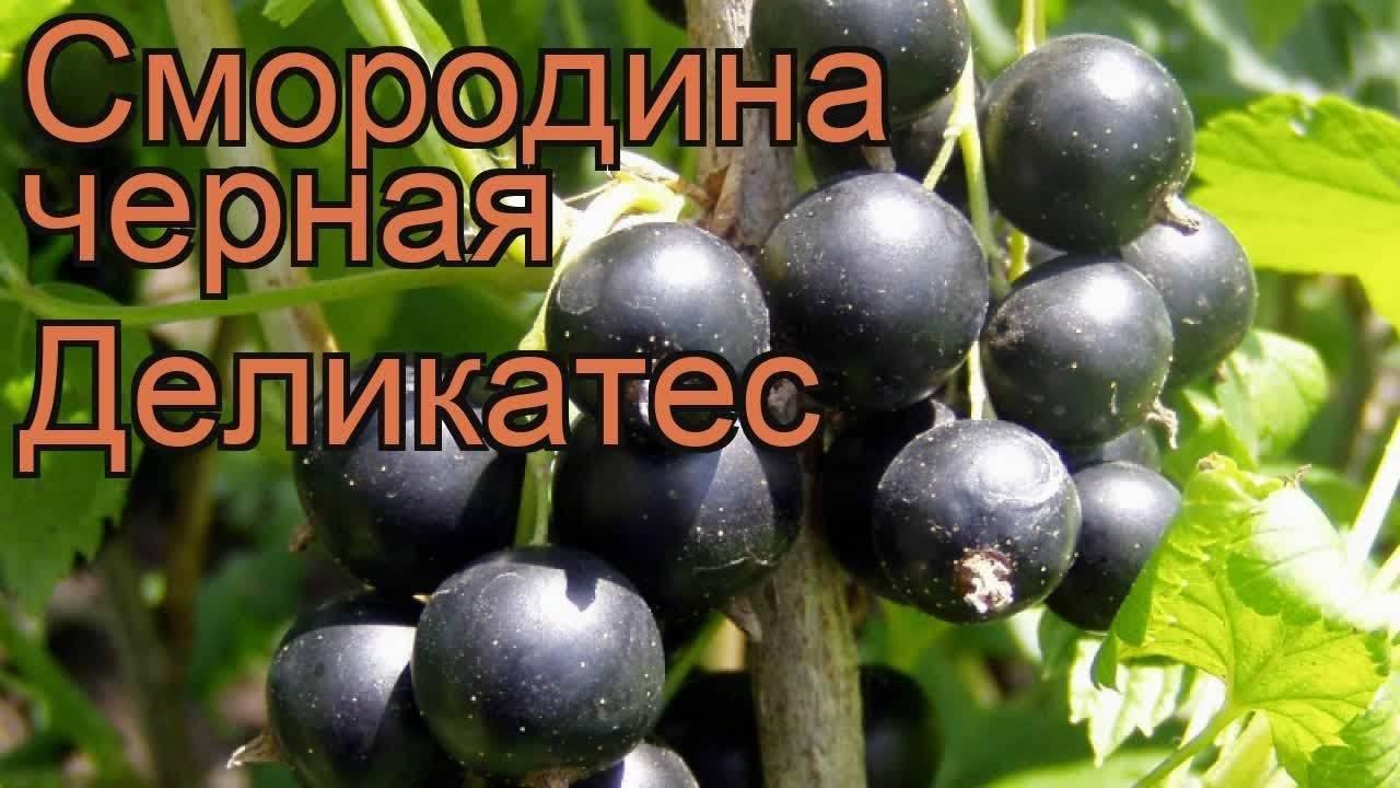 Смородина черная крупная: сладкие сорта