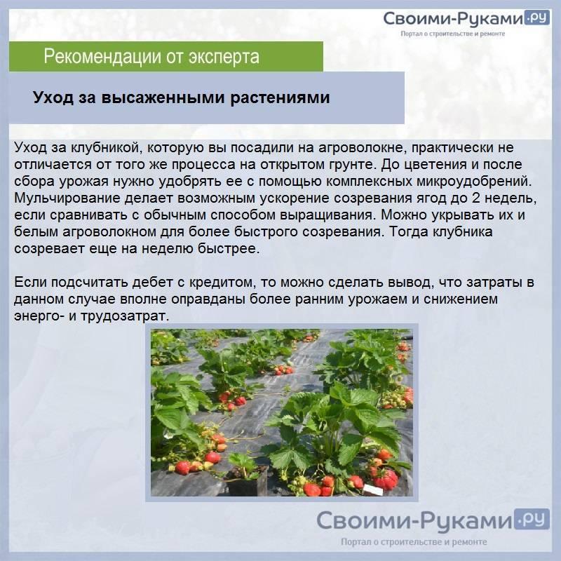 Выращиваем на участке клубнику по финской технологии - общая информация - 2020