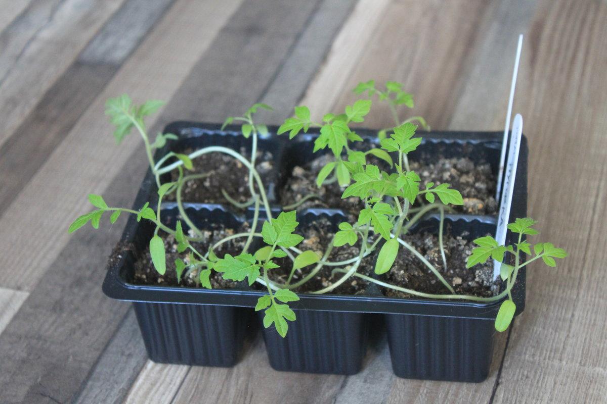 Рассада томатов тонкая и длинная, что делать?
