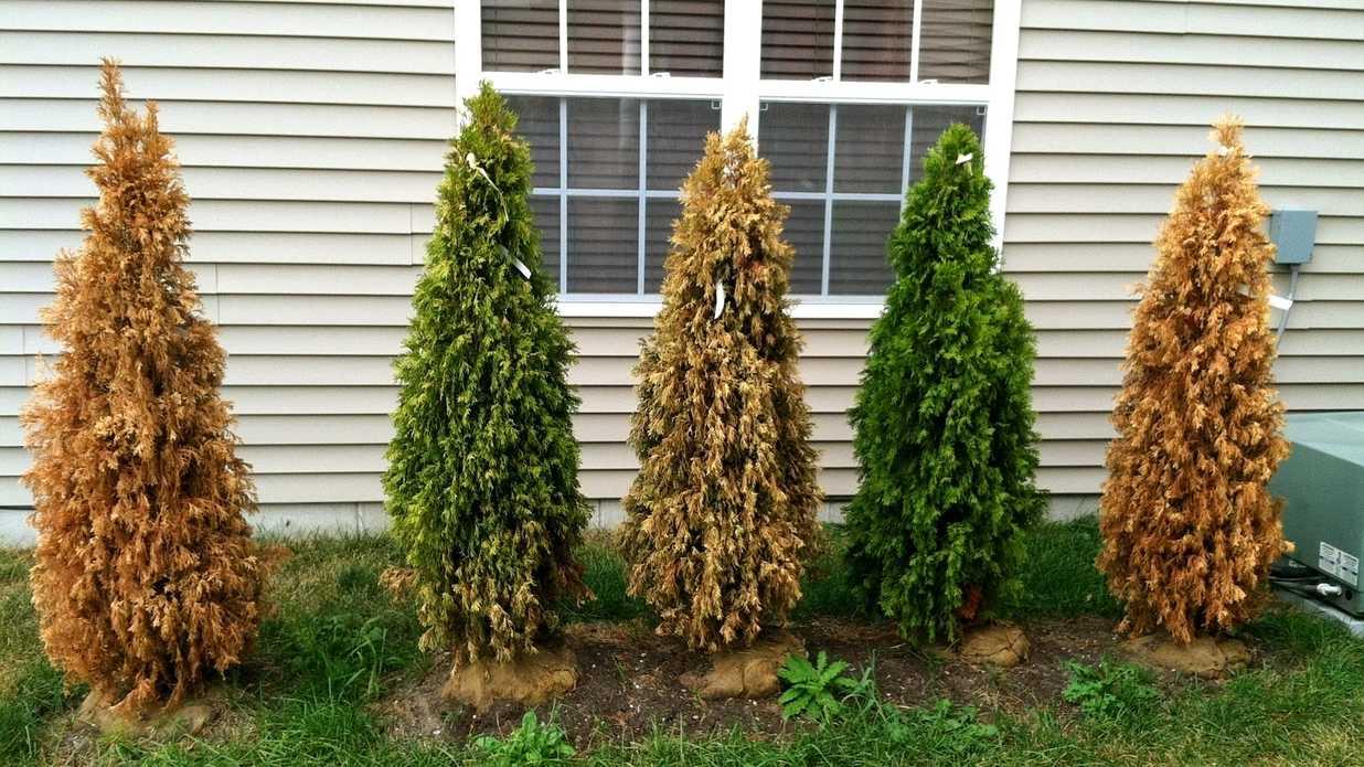 Чем подкормить тую? подкормка весной и летом, выбор удобрений для быстрого роста. чем подкармливать после зимы, чтобы она не желтела?