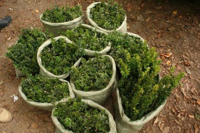 Самшит: стрижка для формирования живой изгороди, когда стричь?