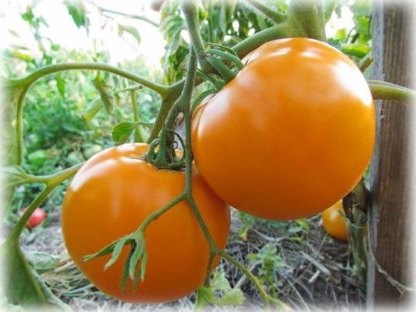 Описание томата алтайский оранжевый, культивирование и выращивание сорта