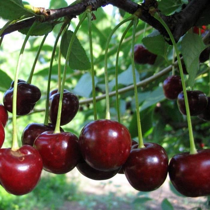 Сорт вишни россошанская черная