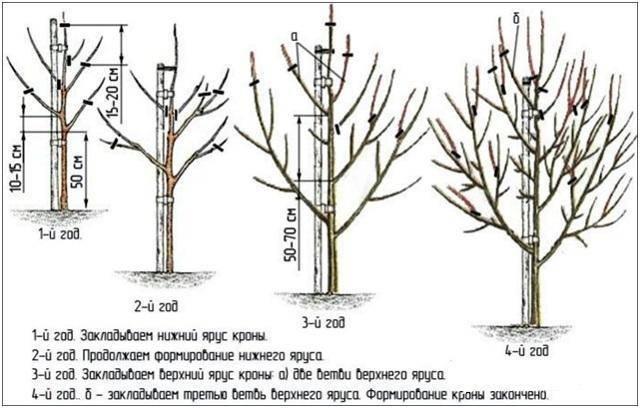 Груша «аллегро»: особенности выращивания и уход