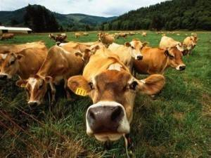Укол для выкидыша коровы
