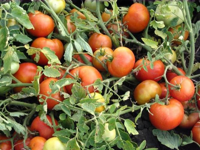 Домашний огород: томат агата