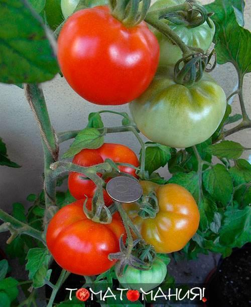 Выращивание томата сибирский скороспелый