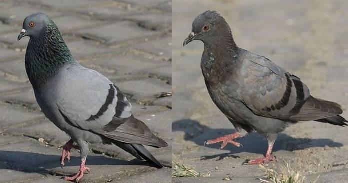Почему мы не видим птенцов голубей