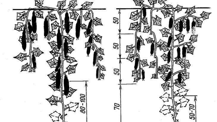 Прищипывание огурцов: как правильно прищипывать в теплице, пошаговое фото