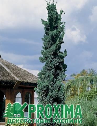 Кипарисовик лавсона ивонне (chamaecyparis lawsoniana ivonne)