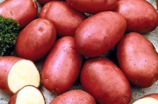 Ранний урожайный картофель ред скарлетт