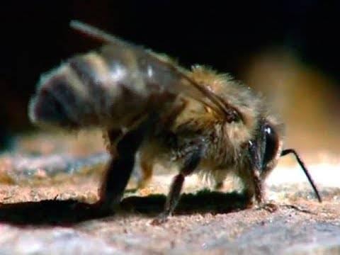 Медоносная пчела | мир животных и растений