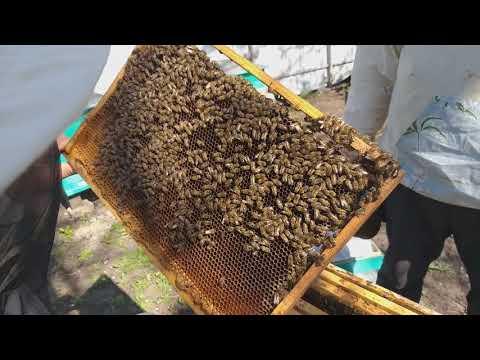 Гнилец у пчел — виды и лечение