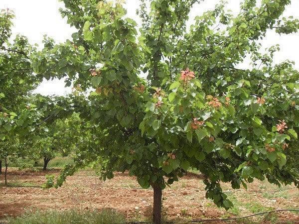 Абрикос «восторг»: характеристика сорта и особенности подготовки к зиме