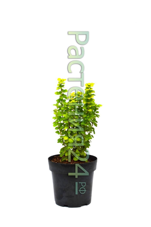 Барбарис мария — описание и выращивание