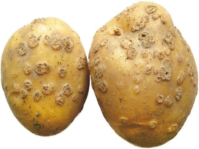 Парша на картофеле – что делать и как бороться