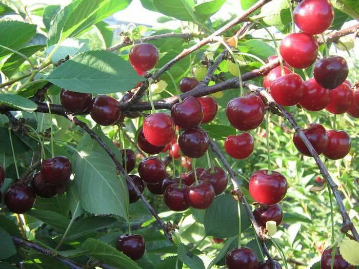 Описание декоративной железистой вишни и правила посадки и ухода, размножение