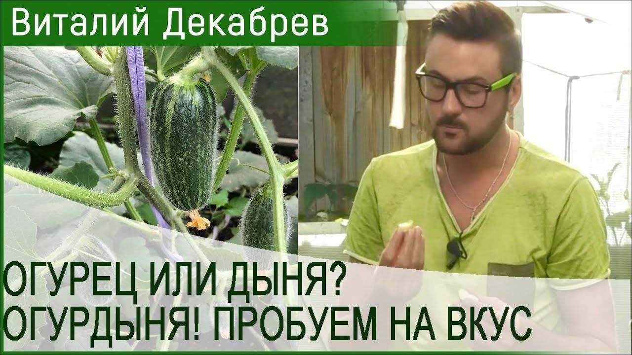 Что такое огурдыня, как её выращивают и едят