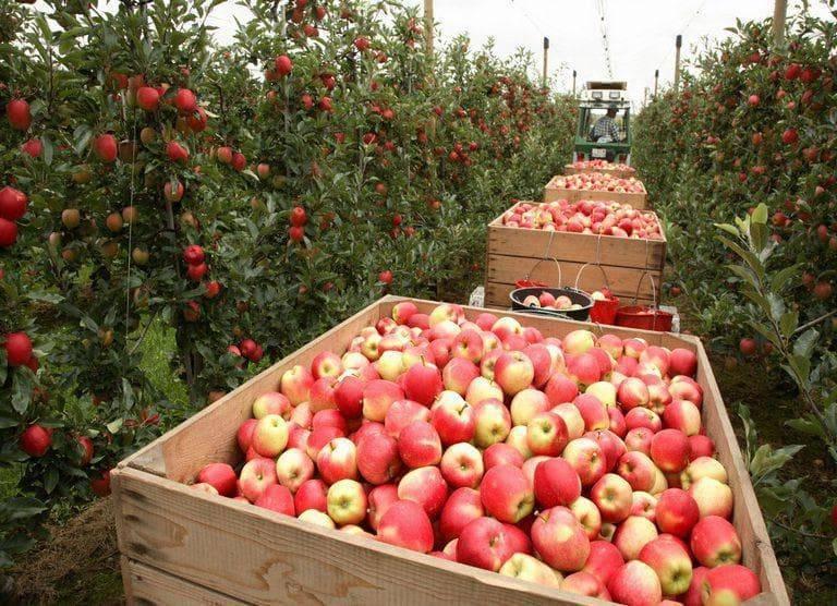 Вкуснейшая яблоня народное: описание, фото