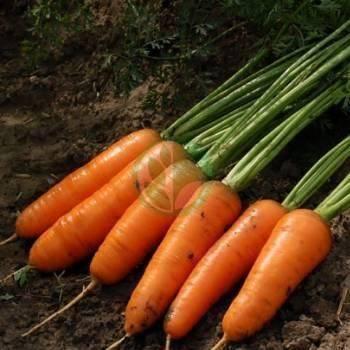 Морковь сорта наполи f1 — особенности выращивания и ухода