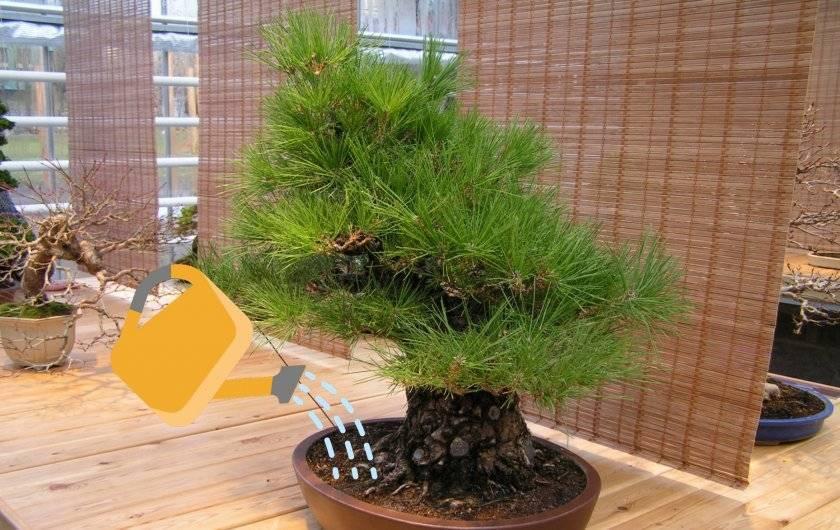Как вырастить сосну из семян в домашних условиях - руководство по проращиванию семян и саженцев (110 фото + видео)