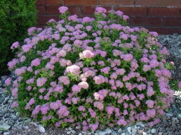 Характеристика и выращивание кустарника спирея аргута