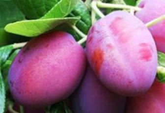 Слива конфетная: описание сорта, особенности выращивания, отзывы