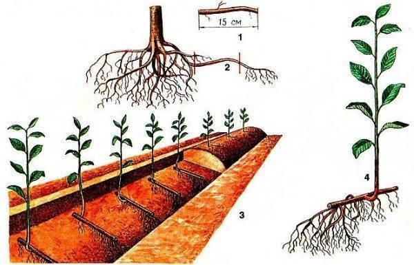 Черенки вишни: как укоренить весной, летом и осенью, видео