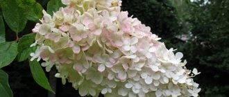 Гортензия (hydrangea): выращивание в саду и дома
