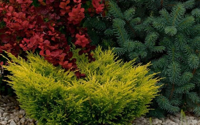 Можжевельник горизонтальный «лайм глоу»: описание и выращивание