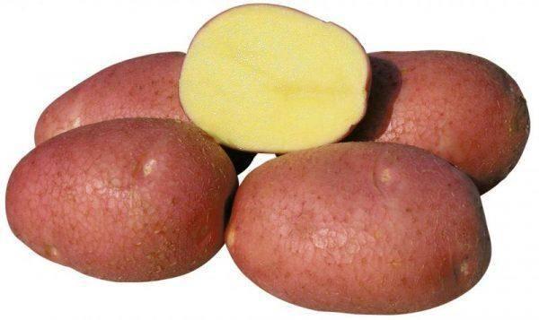 Сорт картофеля бела роза характеристика