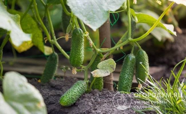 О преимуществах огурца тёща, технология выращивания