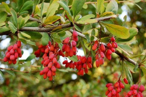 Размножение барбариса черенками: весной, летом и осенью