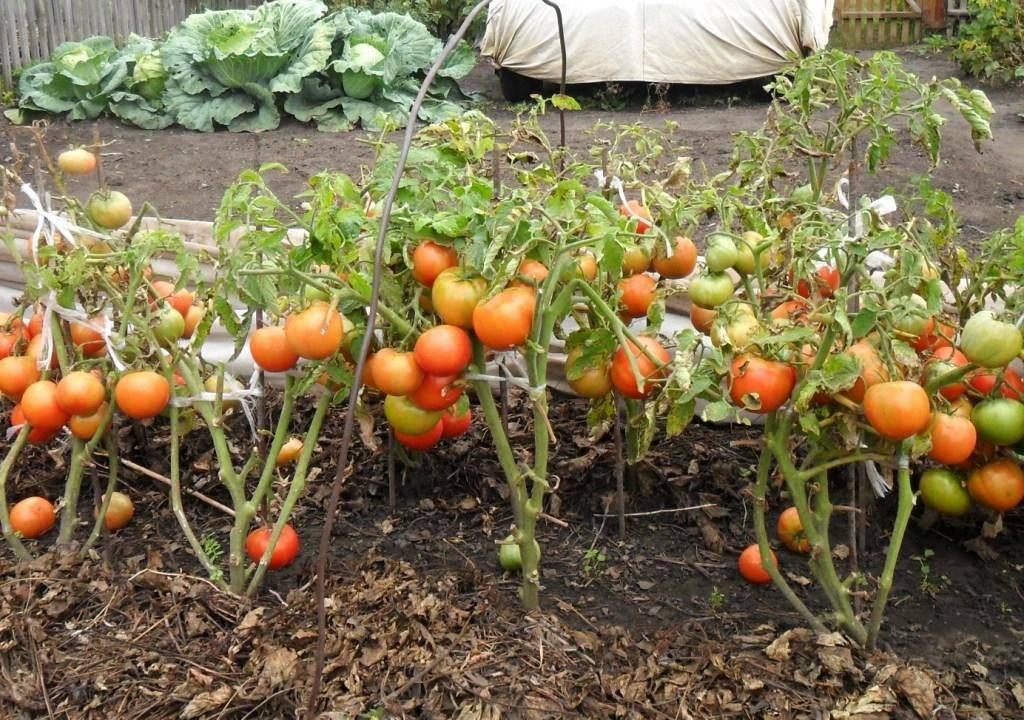 Особенности выращивания и ухода за томатом демидов