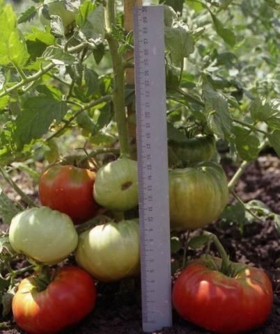 Отечественный культивар с небывалой урожайностью — томат розовый король 8: отзывы и описание