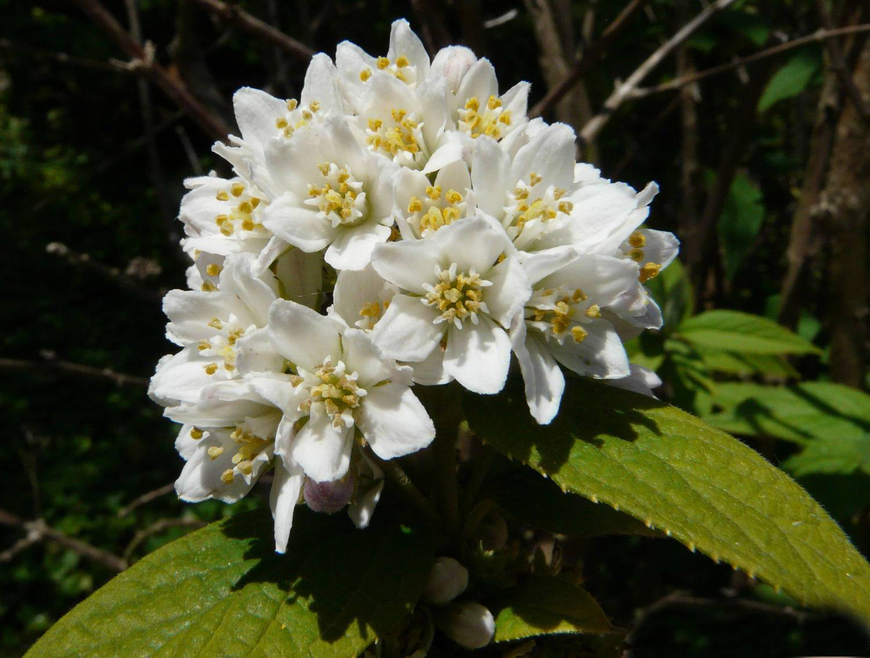 Дейция: посадка и уход в открытом грунте, виды и сорта, шершавая, изящная, розовая, монт роуз, выращивание в подмосковье