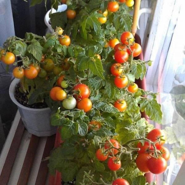 Помидоры на балконе — как вырастить в домашних условиях. пошаговая инструкция по посадке и уходу за комнатными видами томатов (125 фото и видео)