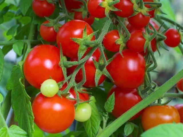 Описание гибридного томата киржач и выращивание из семян