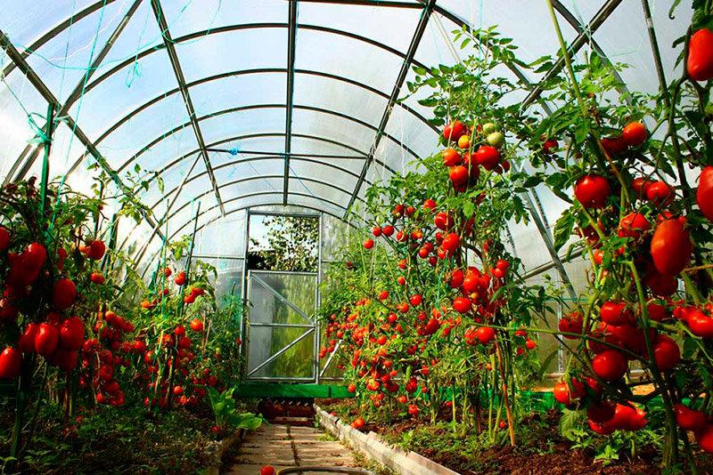 О том как ухаживать за помидорами в теплице