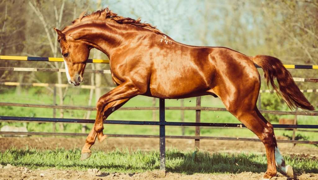 Особенности ганноверской породы лошадей