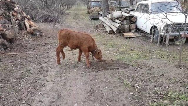 Теленок не растет: причины, рекомендации, профилактика    ветеринарная служба владимирской области