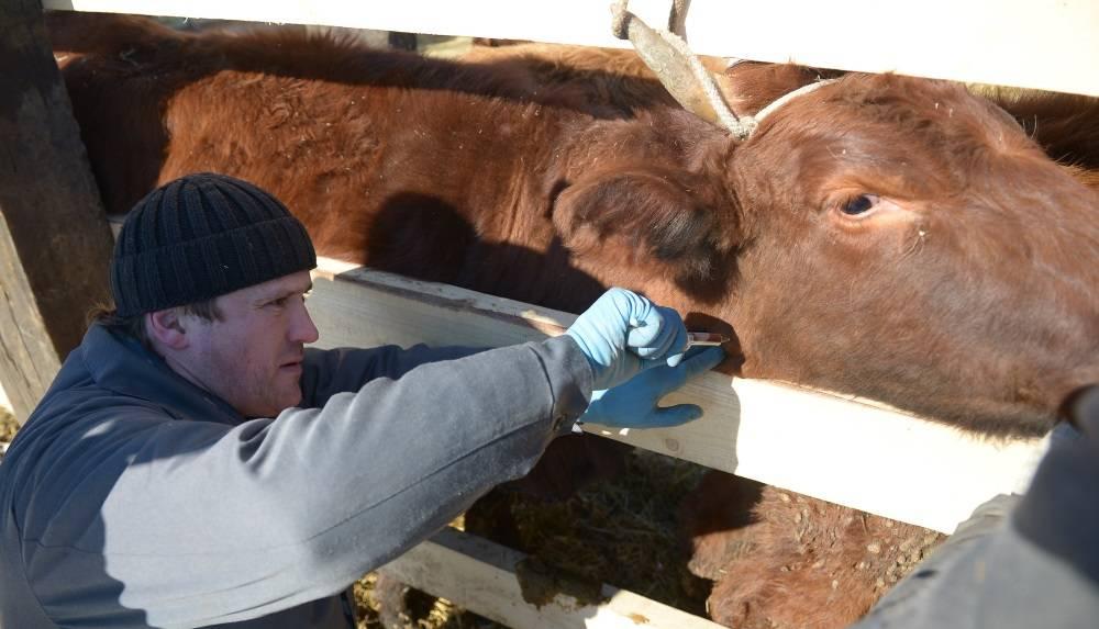 Артрит у коровы признаки