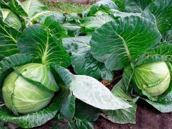 Особенности выращивания и правила ухода за капустой крауткайзер
