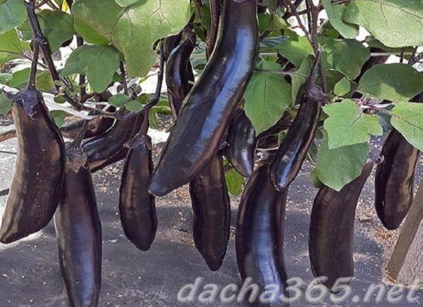 Баклажан король севера f1: описание сорта, выращивание с фото и отзывы