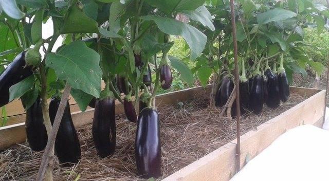 Сорт баклажанов «черное совершенство»: особенности выращивания и правильный уход